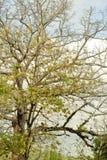 Árbol gigante hacia otoño Fotografía de archivo libre de regalías