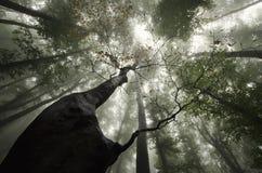 Árbol gigante que mira para arriba en un bosque con niebla misteriosa Foto de archivo