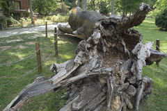 Árbol gigantesco muerto Fotografía de archivo