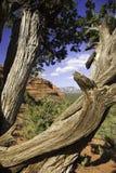 Árbol Gnarled en Sedona Fotos de archivo libres de regalías