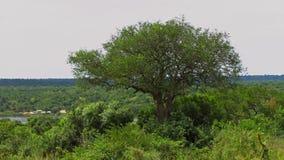 Árbol grande cerca del viaje en transbordador en las cataratas Murchison P nacional imagen de archivo