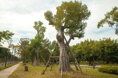 Árbol grande con el apoyo en el parque Fotografía de archivo