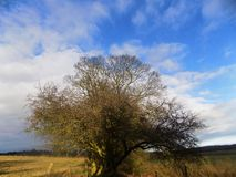 Árbol grande con el cielo azul, Northumberland, nr Crookham, Inglaterra Reino Unido Fotografía de archivo libre de regalías