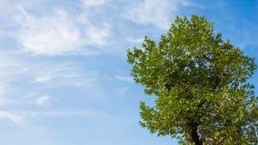 Árbol grande con el cielo azul y el copyspace Fotos de archivo