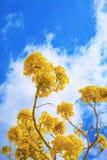 Árbol grande con las flores amarillas fotografía de archivo libre de regalías