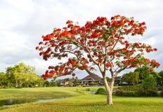 Árbol grande con las flores rojas en el parque Imágenes de archivo libres de regalías