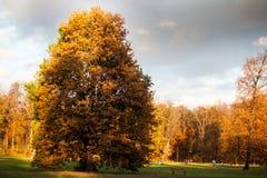 Árbol grande con las hojas del amarillo y el cielo gris Fotos de archivo libres de regalías