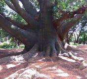 Árbol grande con las raíces Foto de archivo libre de regalías