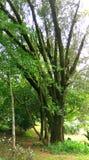 Árbol grande con las ramas Imágenes de archivo libres de regalías