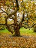 Árbol grande con una rama Foto de archivo libre de regalías