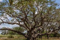 Árbol grande de 1000 años Foto de archivo libre de regalías