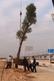 Árbol grande de la planta por la grúa Fotos de archivo libres de regalías