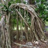 Árbol grande de la raíz Foto de archivo