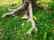Árbol grande de la raíz en campo de hierba Imagen de archivo libre de regalías
