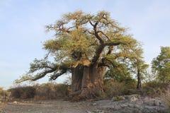 Árbol grande del baobab Imagen de archivo libre de regalías