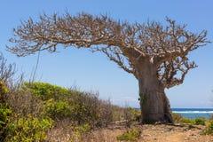 Árbol grande del baobab que crece rodeado por los arbustos y el mar en la parte posterior Imagen de archivo