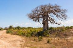 Árbol grande del baobab rodeado por la sabana africana con la pista de tierra n Fotos de archivo libres de regalías