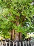 Árbol grande del ginkgo en el templo de Kokubunji en Takayama, Japón Foto de archivo libre de regalías