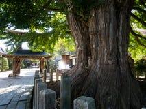 Árbol grande del ginkgo en el templo de Kokubunji en Takayama, Japón Foto de archivo