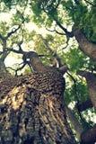 Árbol grande del jacaranda que mira para arriba Imágenes de archivo libres de regalías