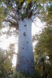 Árbol grande del kauri ocultado en los arbustos, Imagen de archivo