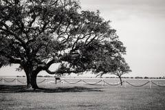 Árbol grande en blanco y negro Imagenes de archivo