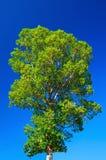Árbol grande en bosque. Imágenes de archivo libres de regalías