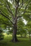 Árbol grande en el bosque Foto de archivo libre de regalías