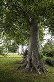 Árbol grande en el bosque Fotos de archivo libres de regalías