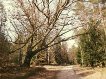 Árbol grande en el camino - asolee la versión Imagen de archivo
