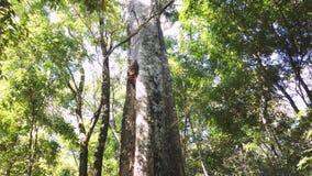 Árbol grande en el medio de la selva almacen de metraje de vídeo