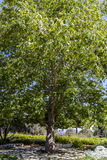 Árbol grande en el parque con vertical del cielo azul Fotografía de archivo