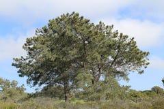 Árbol grande en La Jolla, CA Imagen de archivo libre de regalías