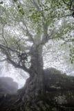 Árbol grande en la niebla Fotografía de archivo libre de regalías