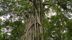 Árbol grande en la selva tropical tropical, baniano enorme almacen de video