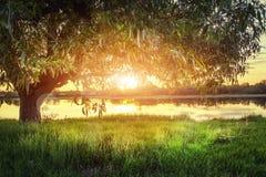 Árbol grande en orilla del río en la puesta del sol el la tarde del verano El sol brilla a través de las ramas del árbol Imagenes de archivo