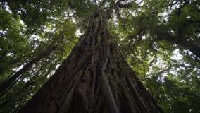 Árbol grande en selva metrajes