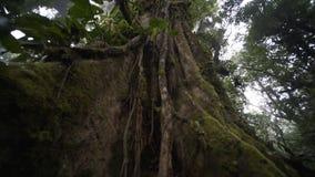 Árbol grande en selva tropical almacen de metraje de vídeo