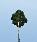 Árbol grande en selva tropical tropical Fotografía de archivo libre de regalías