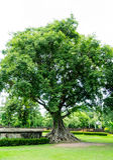 Árbol grande en Sukhothai, Tailandia Imagen de archivo