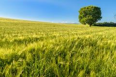 Árbol grande en un campo de trigo Imágenes de archivo libres de regalías