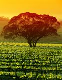 Árbol grande en viñedo Foto de archivo libre de regalías