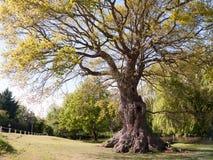 Árbol grande hermoso con el tronco ancho en parque Imagenes de archivo