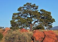 Árbol grande que crece a través de rocas rojas del desierto Fotografía de archivo libre de regalías