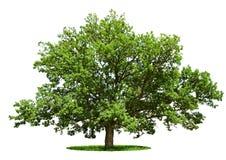 Árbol grande - roble aislado en un blanco Imagen de archivo libre de regalías