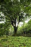 Árbol grande rodeado por los pequeños helechos en el arboreto de Ke'anae, Maui, Hawaii imágenes de archivo libres de regalías