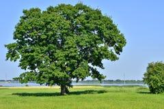 Árbol grande solo en campo verde en un cielo del claro del fondo Imagenes de archivo