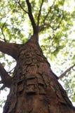 Árbol grande viejo Foto de archivo libre de regalías