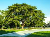 Árbol grande viejo en parque verde Fotografía de archivo