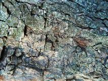 Árbol grueso, grueso del marrón de la corteza, gris y brillante de castaña, otoño Fotografía de archivo libre de regalías